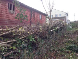 Hedge laying after